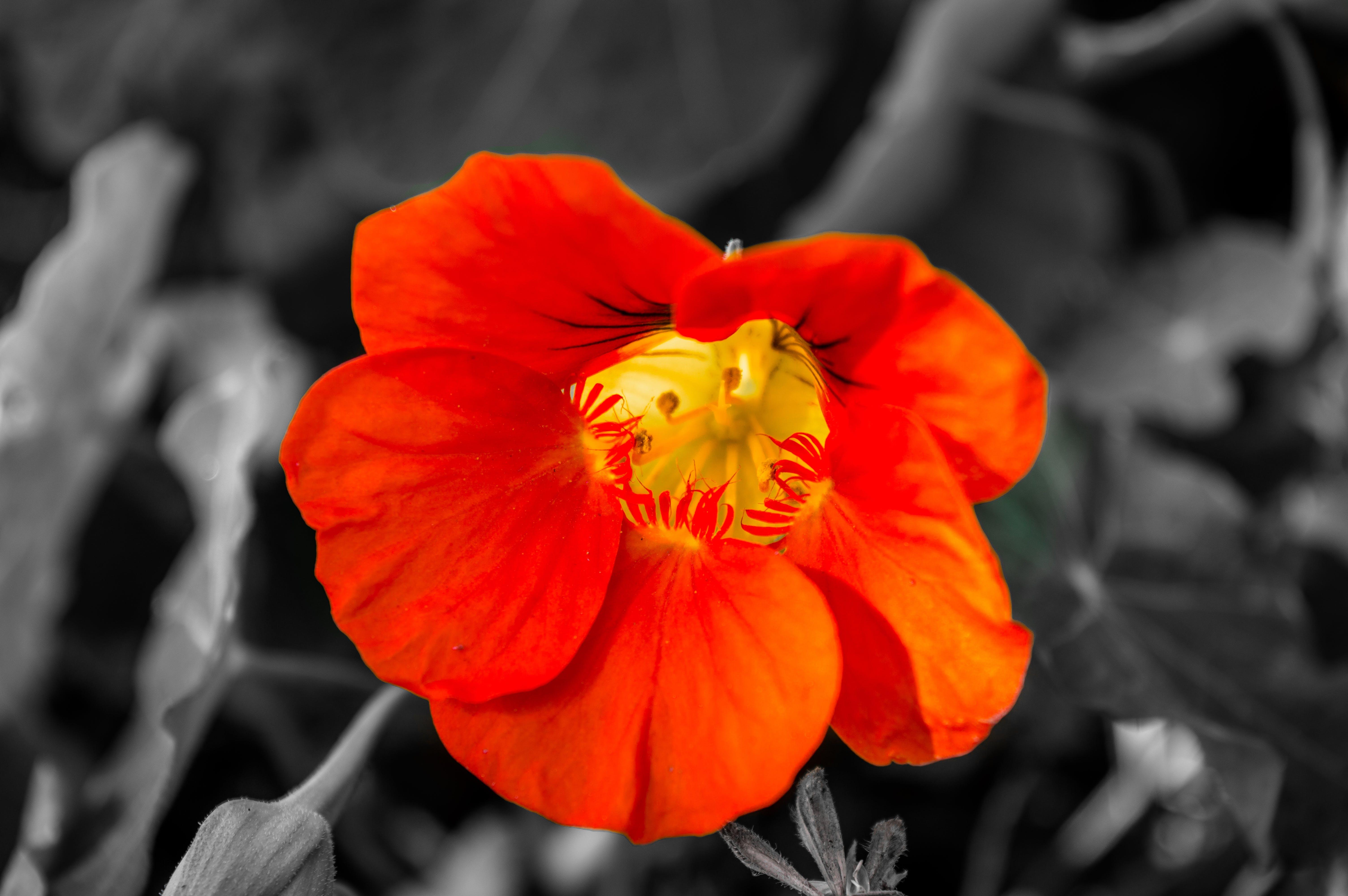 Selective Color Photo of Orange Poppy Flower