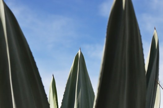 Free stock photo of plant, green, agave, close-up