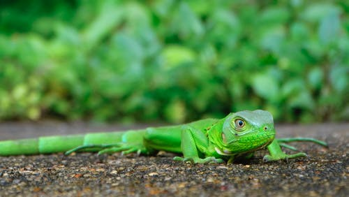 Macro Photography Of Green Lizard