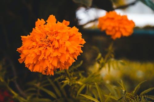 Kostnadsfri bild av apelsin, apelsinblomma, blomma, blommor av orange