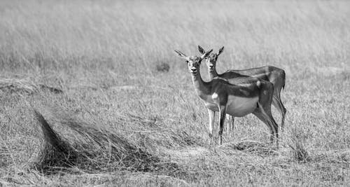Grayscale Photo of Deers on Grass Field