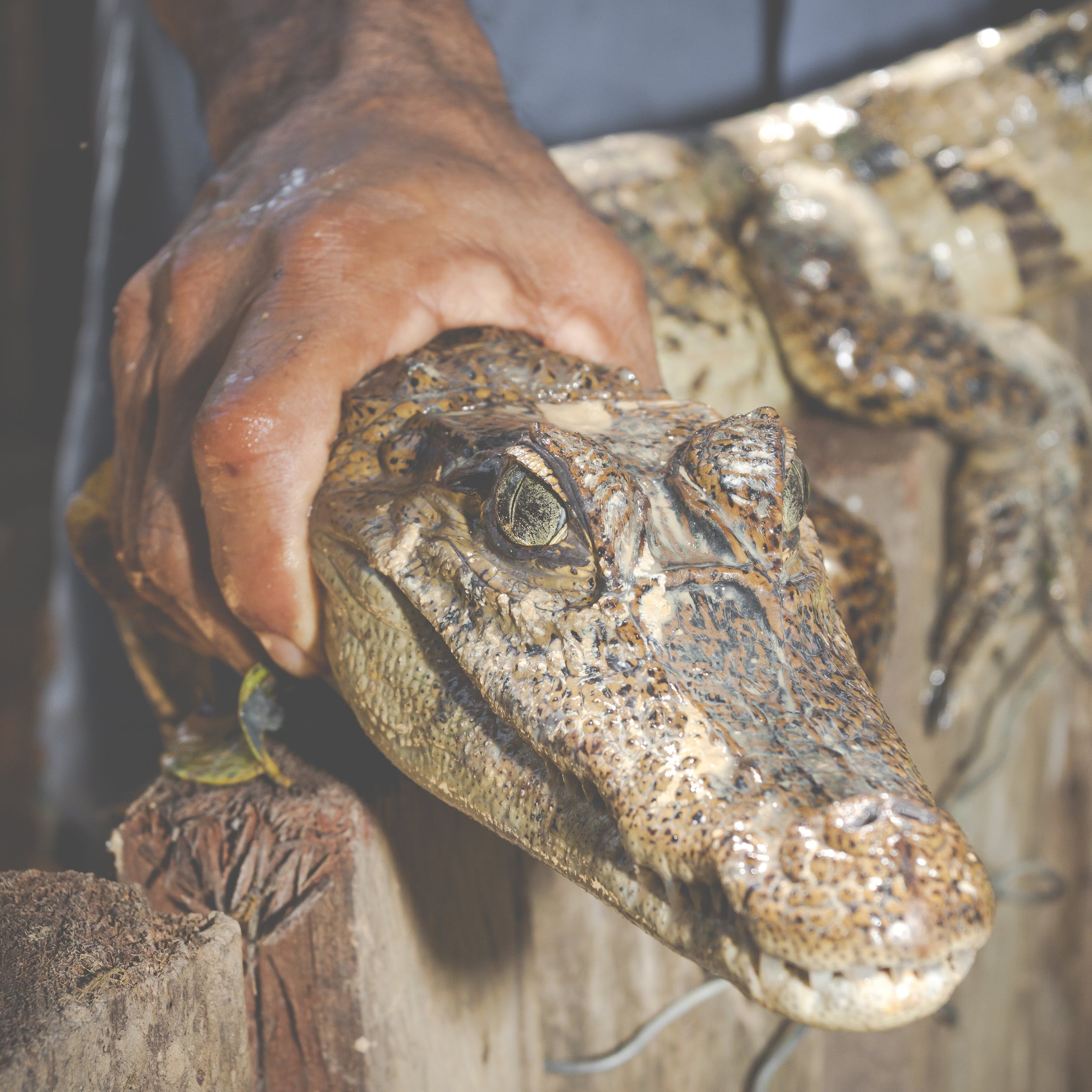Person Holding Brown Crocodile
