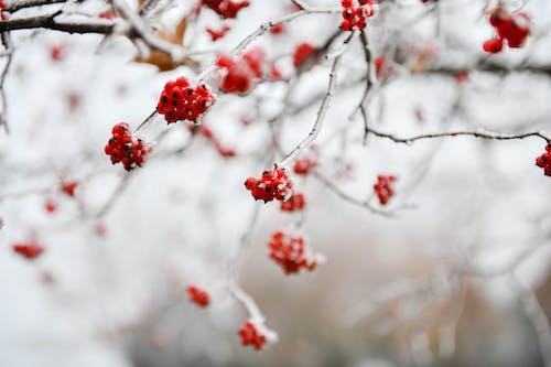 Gratis lagerfoto af forkølelse, gren, is, rød
