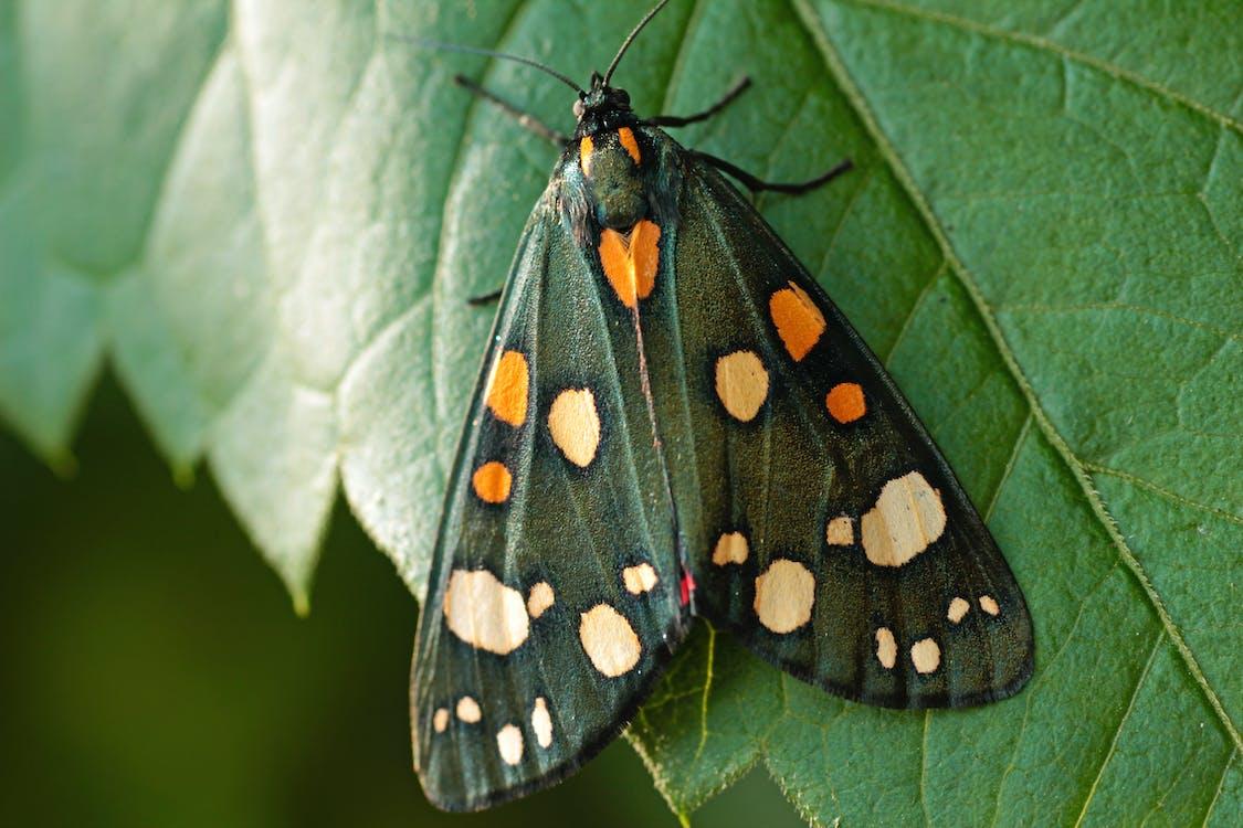 Czarno Pomarańczowy Motyl