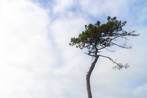 Gratis stockfoto met blauw, boom, den, dennenboom