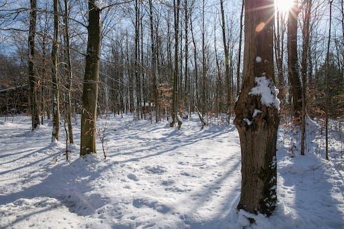 Free stock photo of birch, nature, Sun Rays, trees