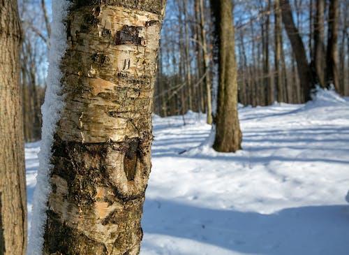 Free stock photo of bark, birch, snow, tree bark