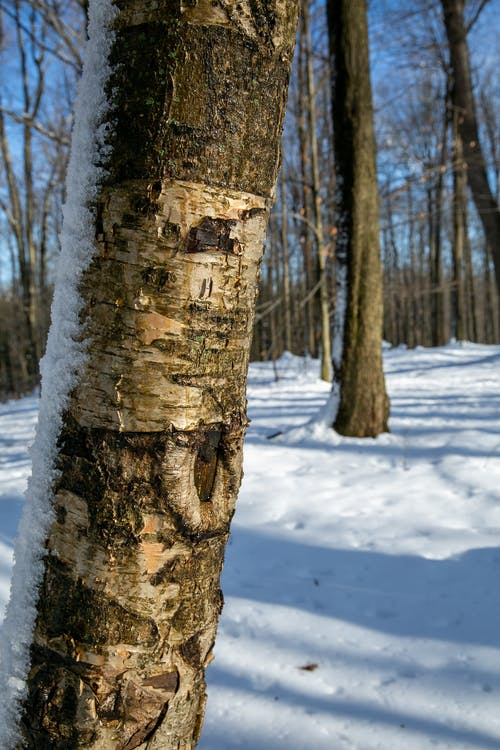 Free stock photo of Birch Tree with Snow, forest, shadows, snow