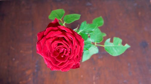 Closeup Photo of Red Rose