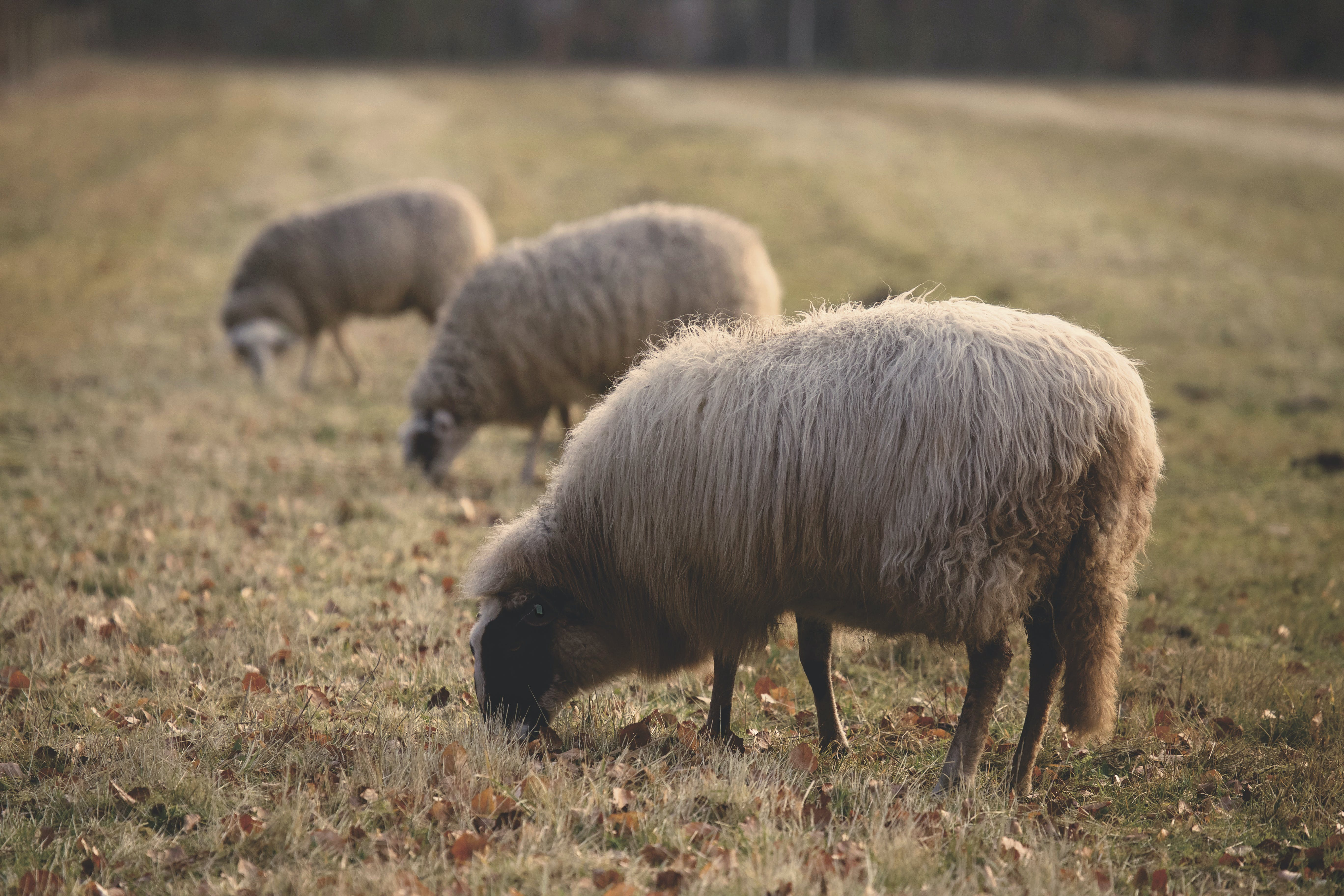 Three Sheep Eating Grass