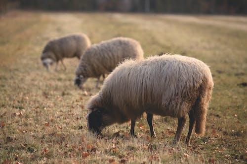 Foto d'estoc gratuïta de animals, bestiar, camp, camp d'herba
