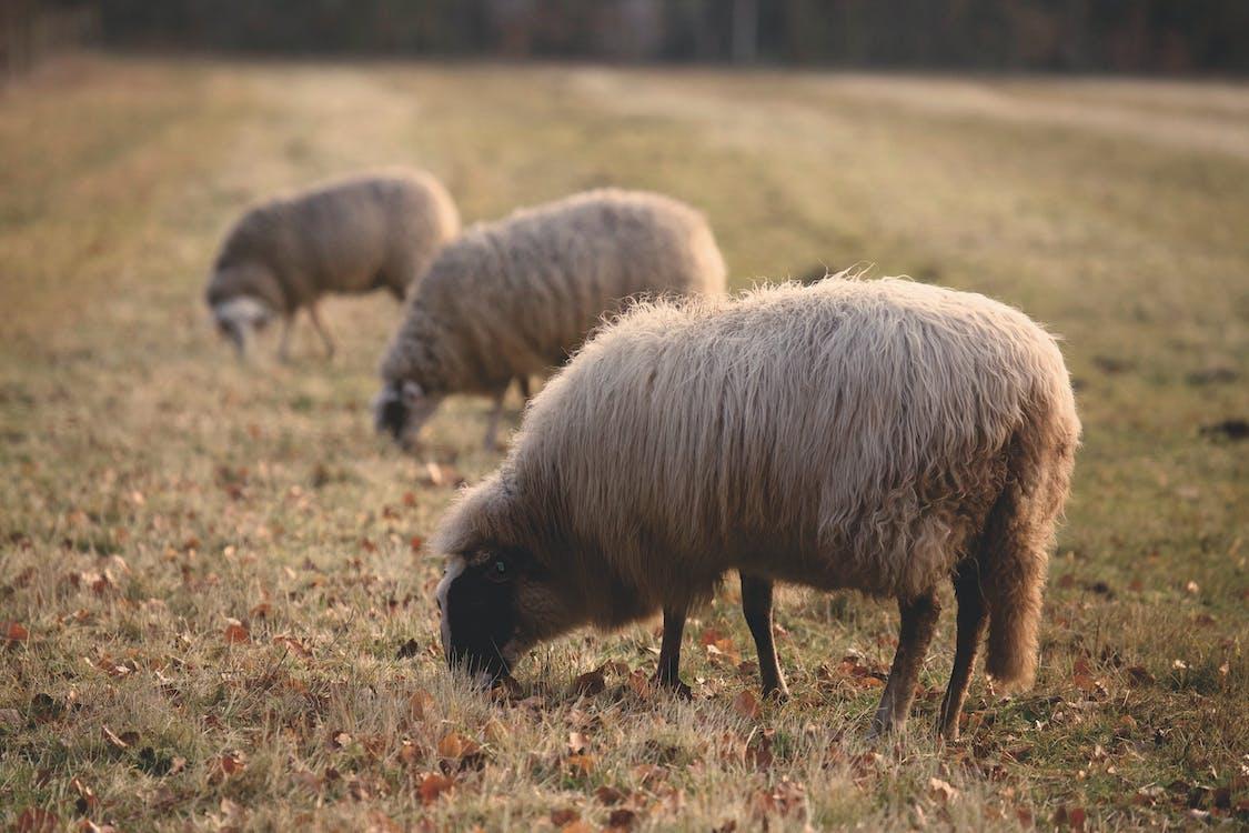 állatállomány, állatok, farm