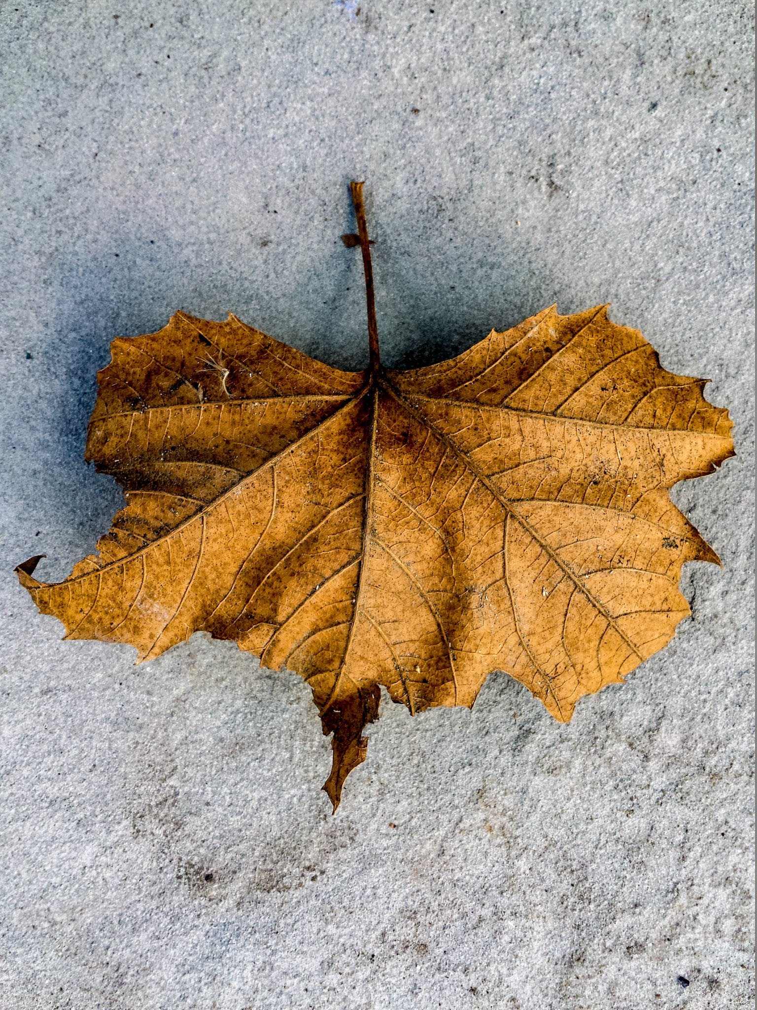 Free stock photo of dried leaf, leaf