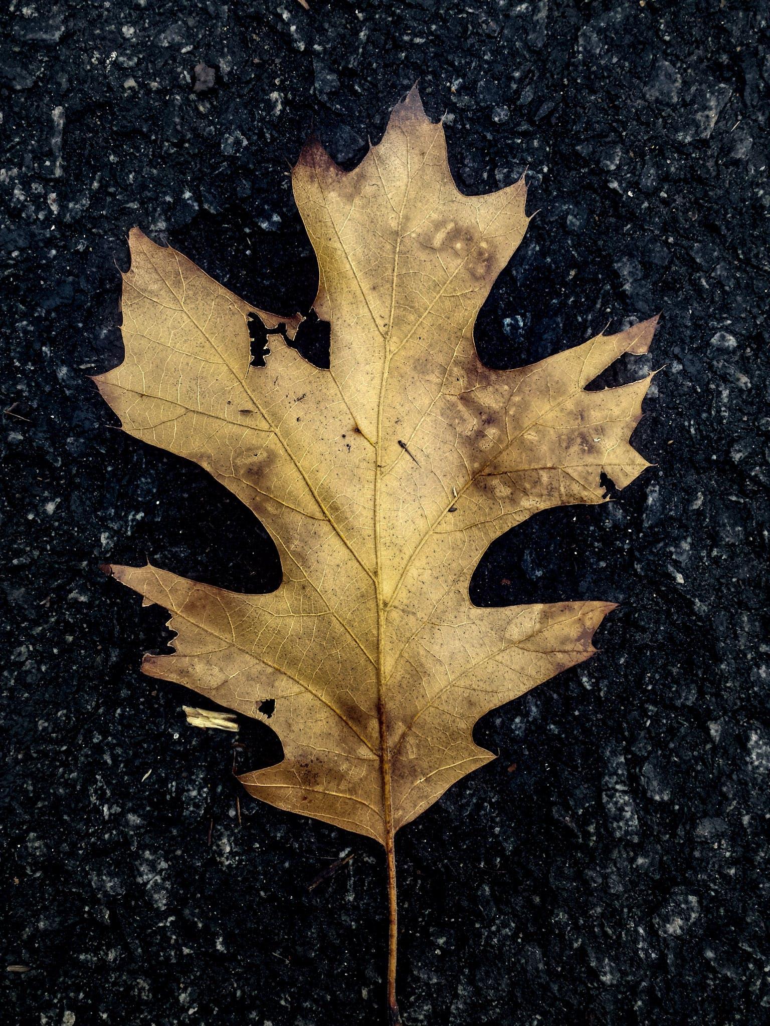 Free stock photo of dried leaf, leaf, oak leaf