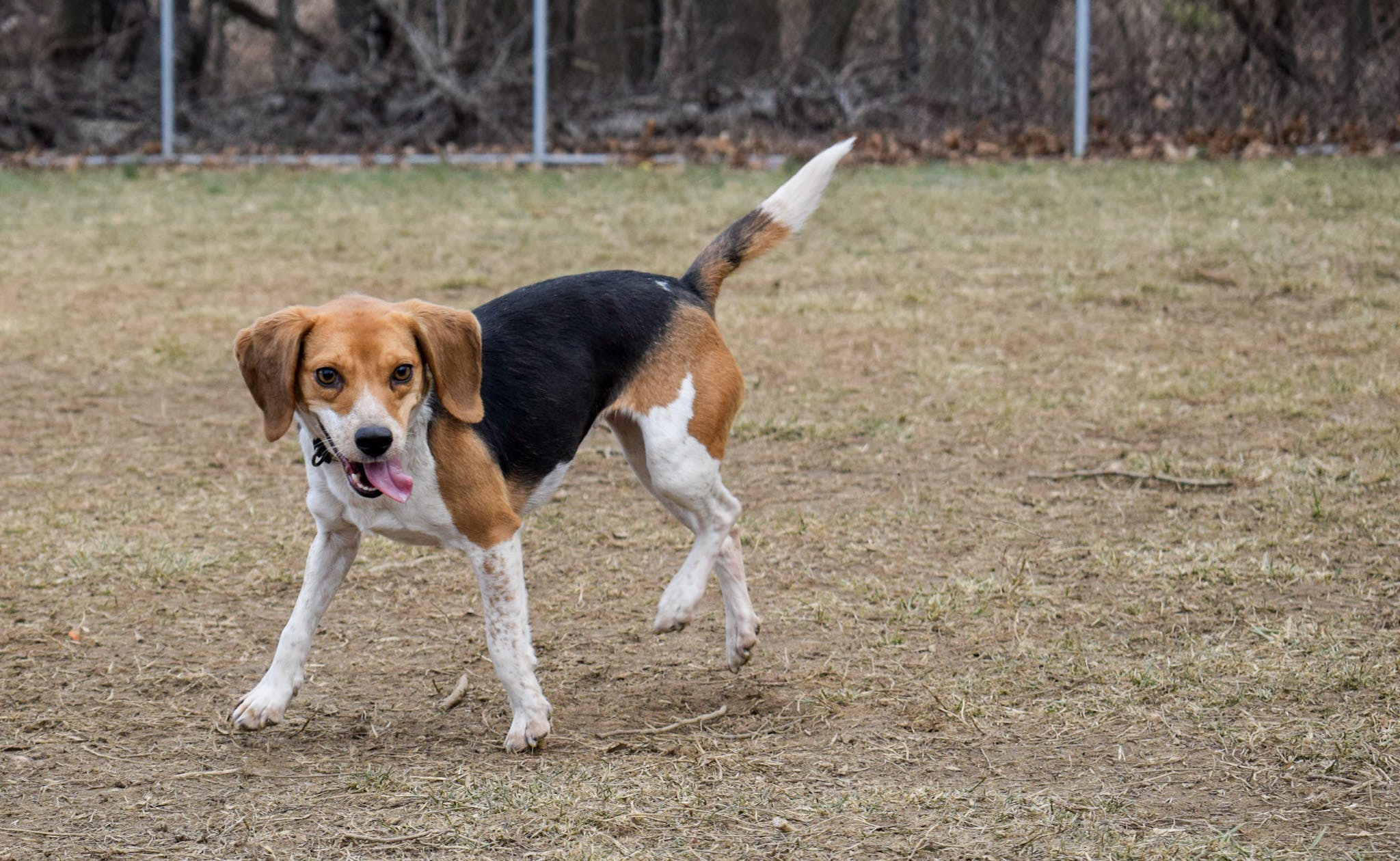 Free stock photo of beagle, dog, pets