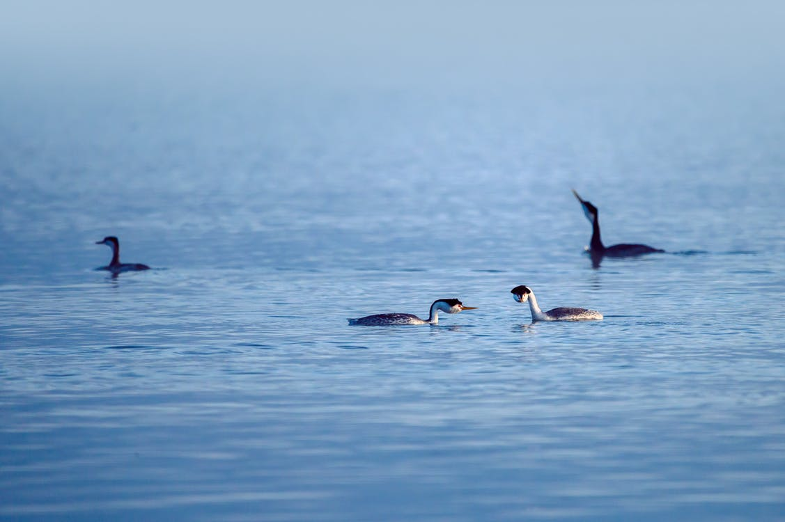 3 Black and White Birds on Water