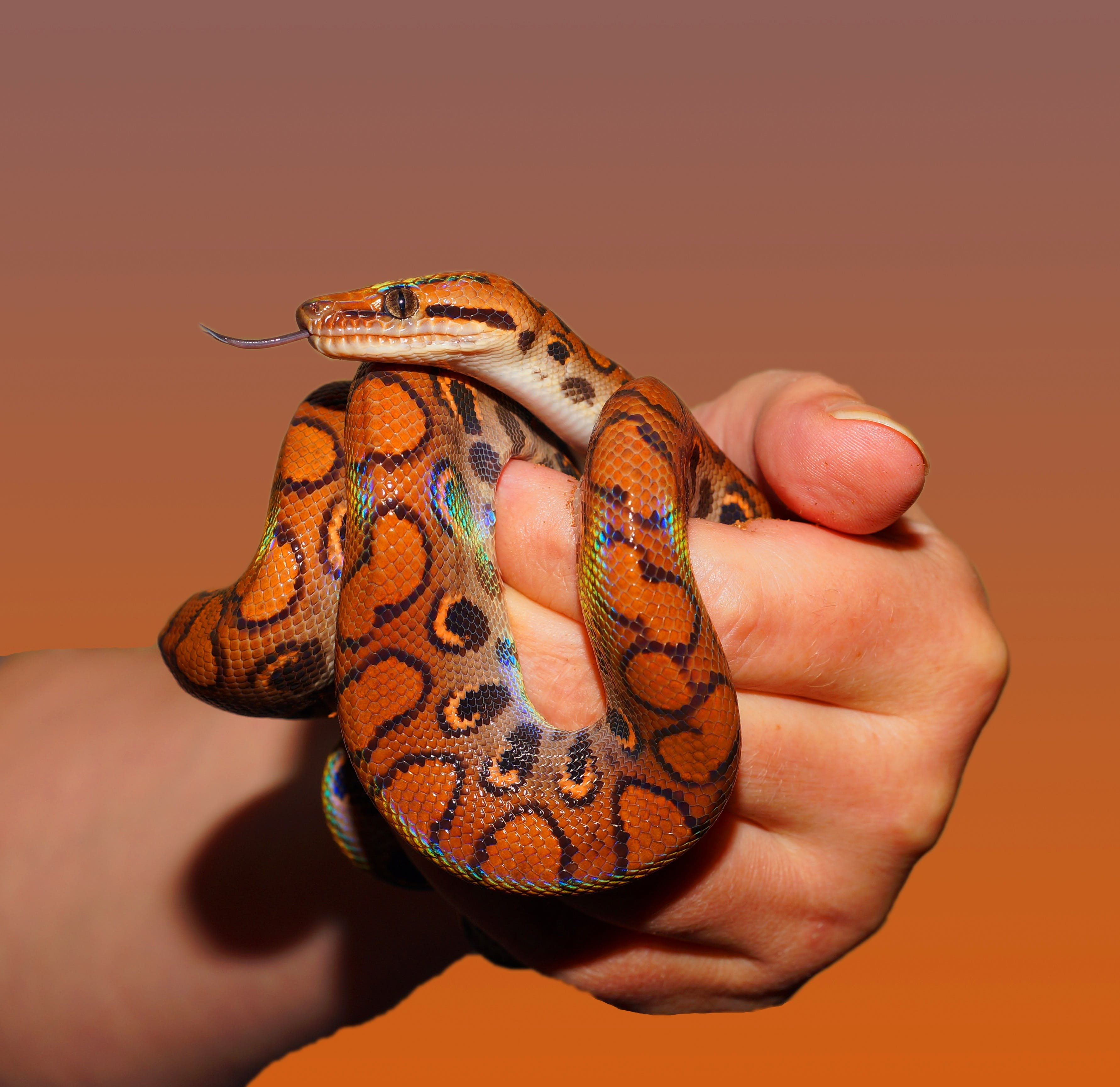 Person Holding Red and Black Snake