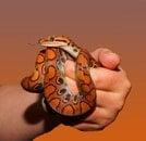 hand, animal, reptile