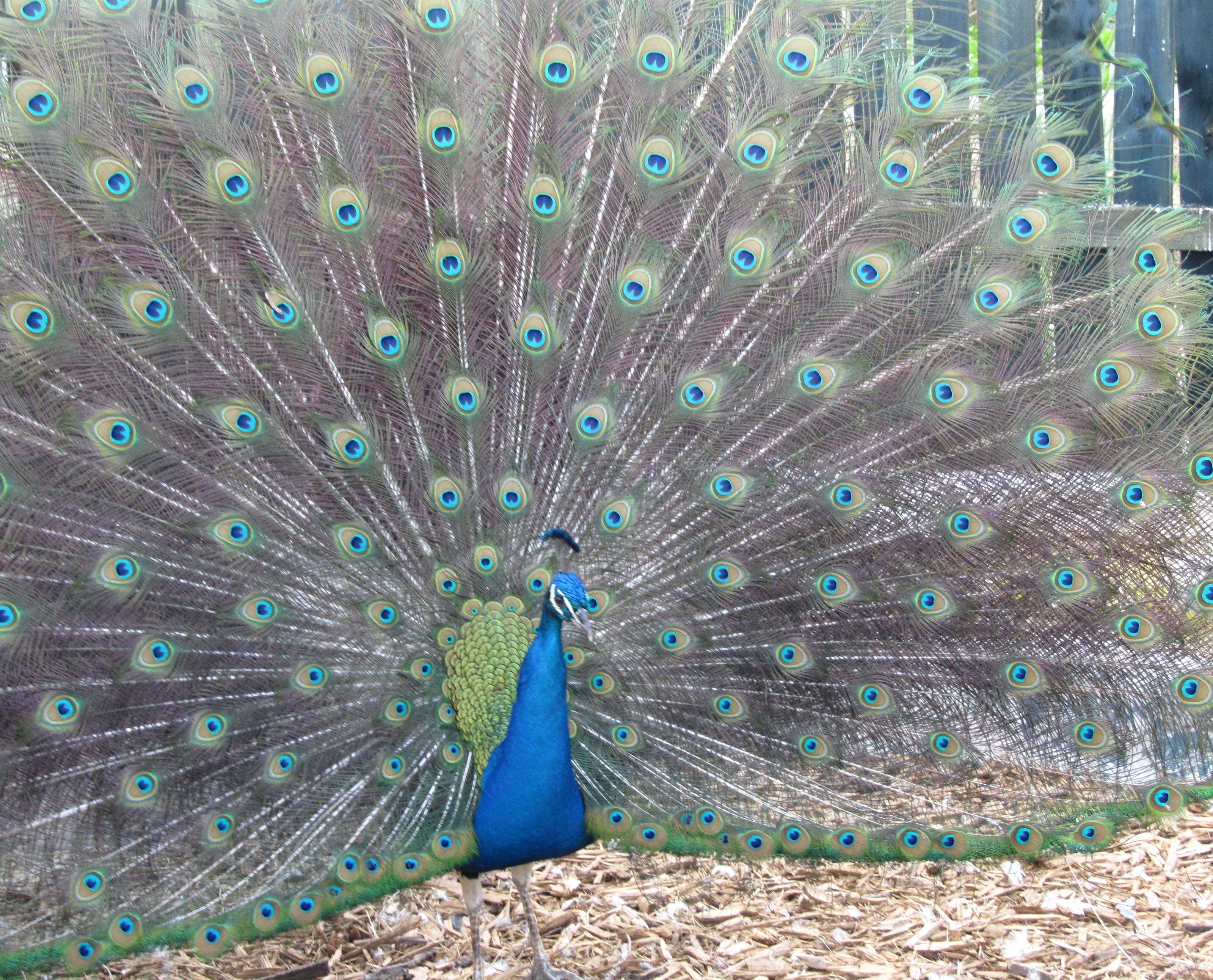 Free stock photo of bird, blue, fowl, peacock
