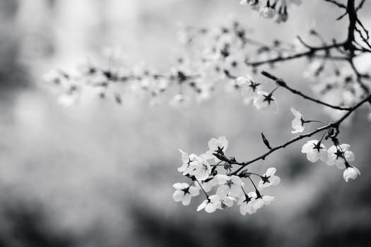 Free stock photo of black and white flowers branch cherry blossom
