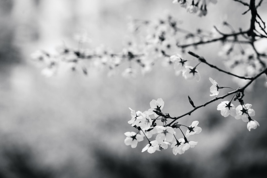 black-and-white, branch, cherry blossom