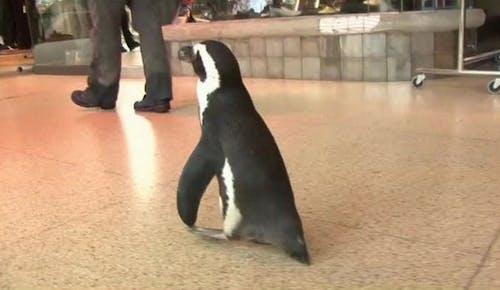 Darmowe zdjęcie z galerii z klient, pingwin, słodkie zwierzaki, west ed mall