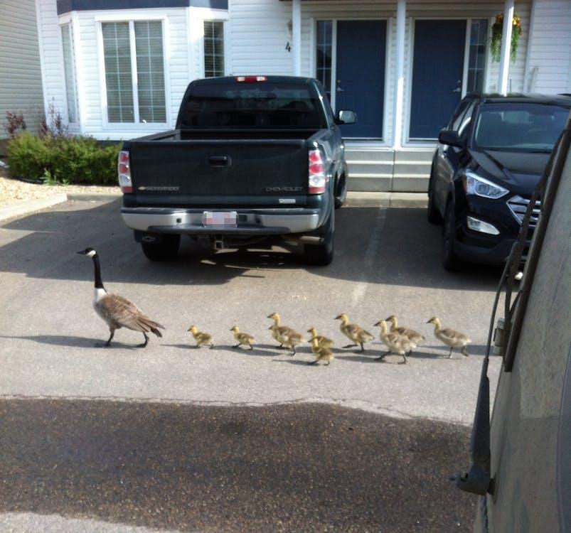 goslings, ακολούθα τον αρχηγό, αναζητώντας νερό