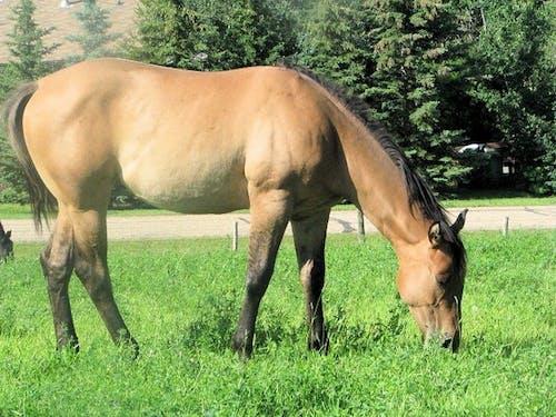Darmowe zdjęcie z galerii z koń, koń zatoki, pasący się