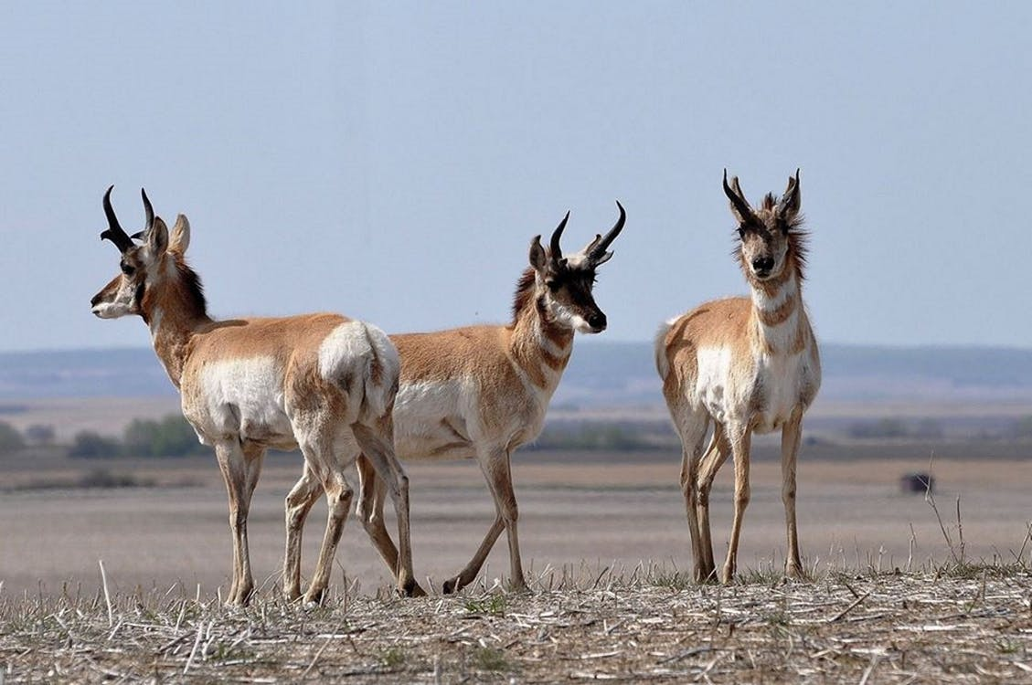 Free stock photo of antelope, grazing, pronghorn
