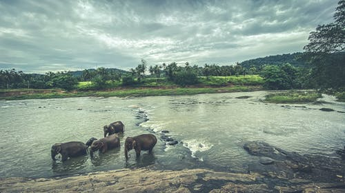Free stock photo of elephant sanctuary, elephants, elephants in water