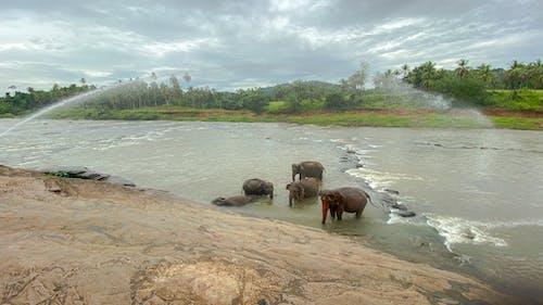 Free stock photo of elephants, elephants in river, mountains