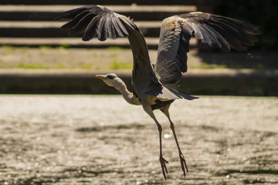 bird, flying, heron