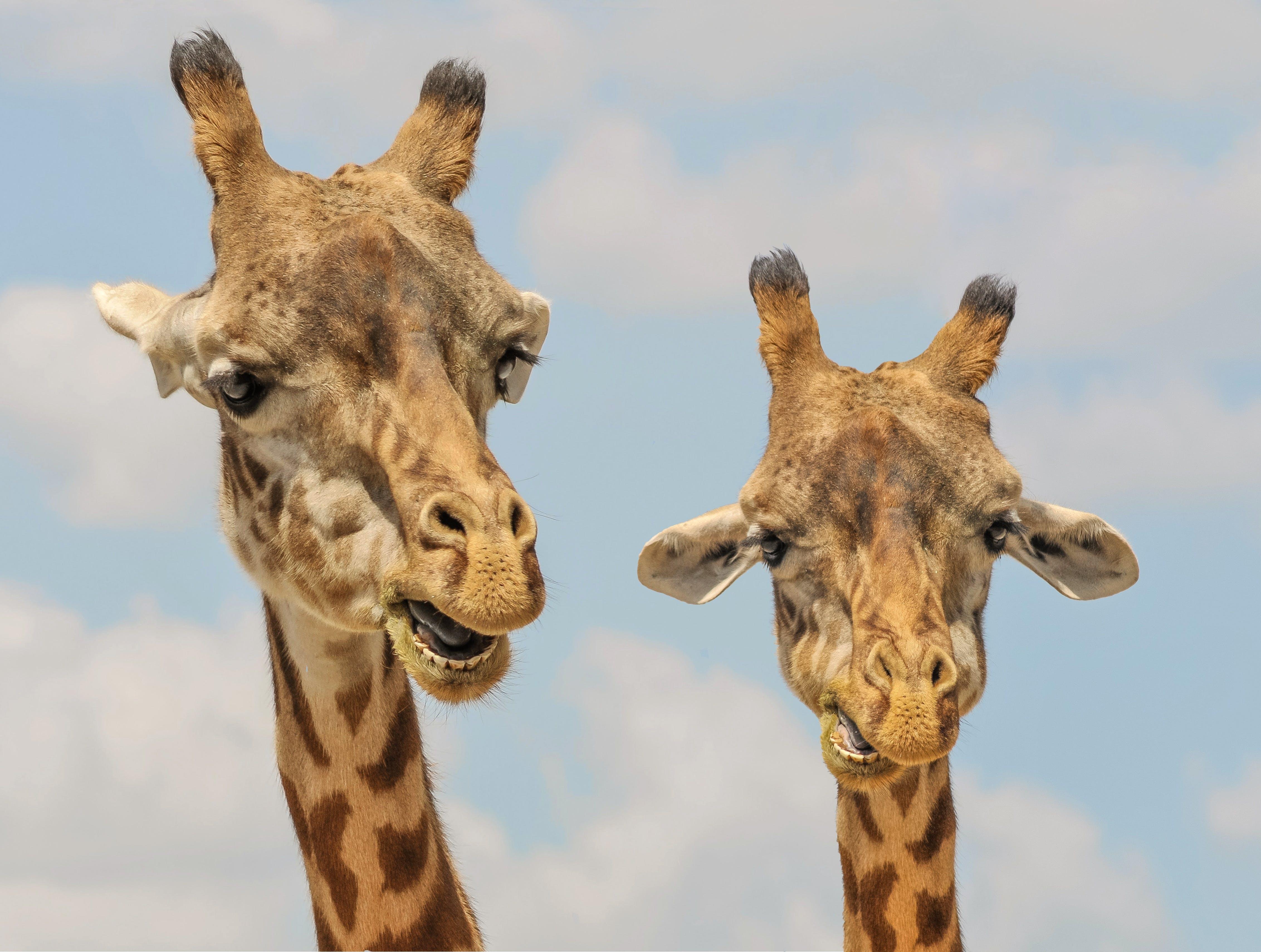 animals, fauna, giraffes