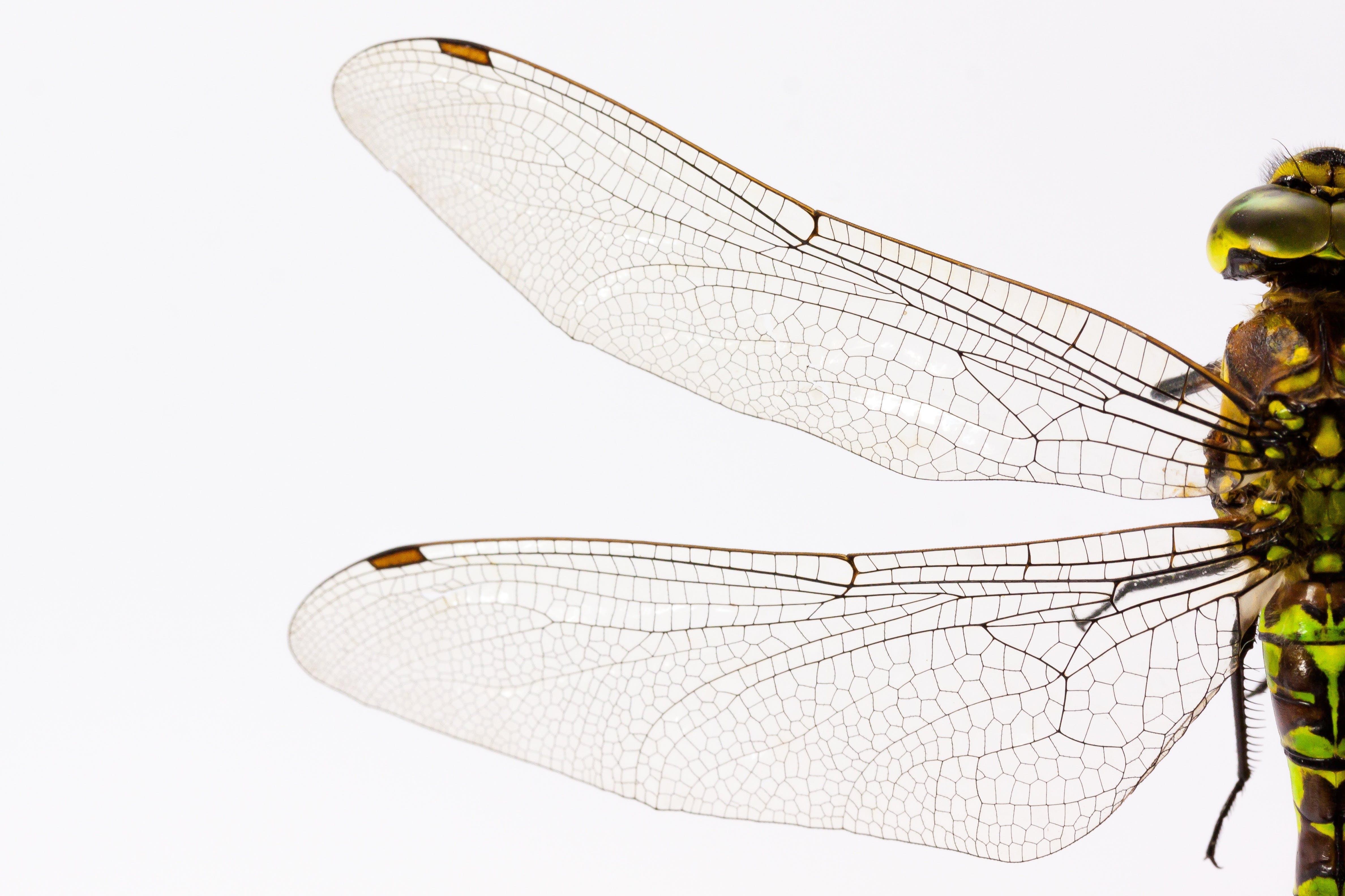곤충, 날개, 매크로