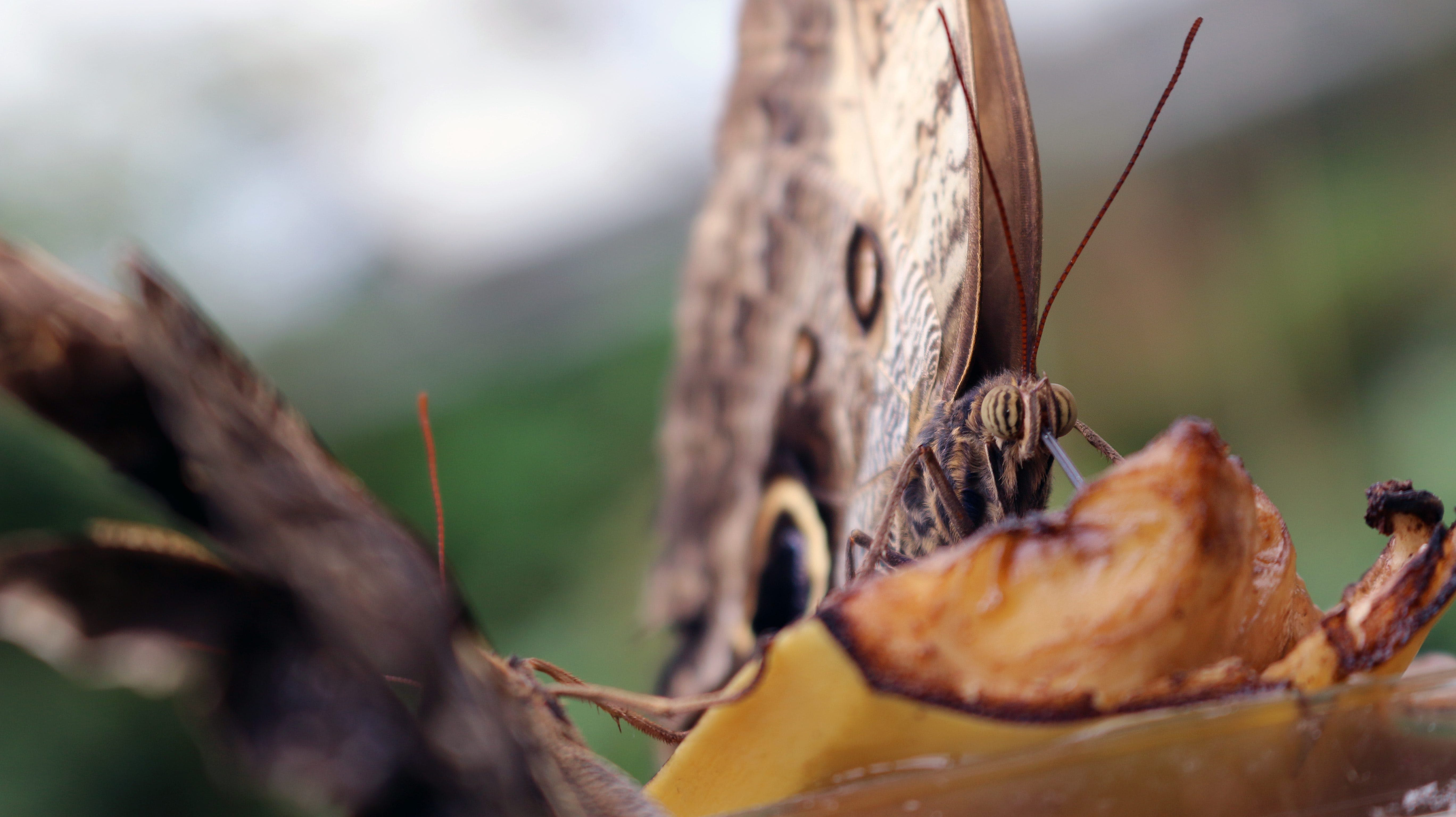 Selective Focus Photo of Brown Owl Butterfly