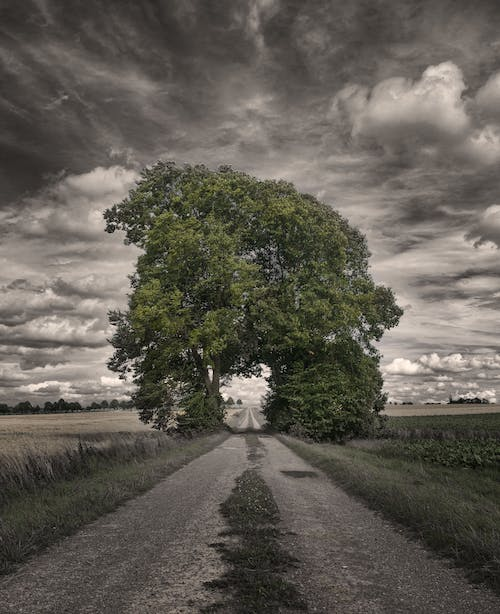 Big Oak Tree in a Rice Field Greyscale Photography