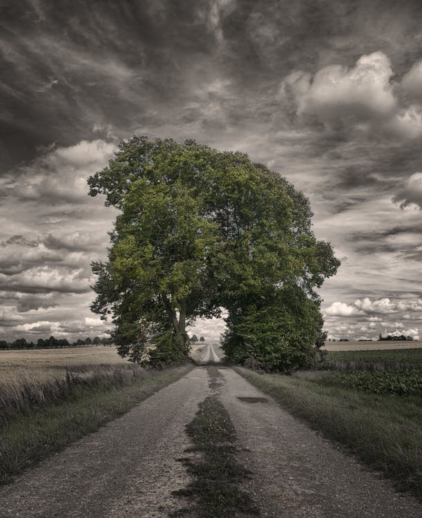 Big Oak Tree in a Rice Field Greyscale Photography