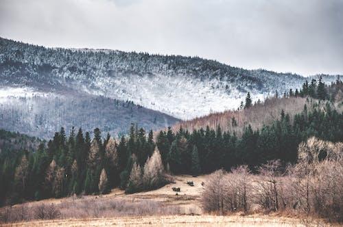 Photos gratuites de à feuilles persistantes, arbres, aube, brouillard