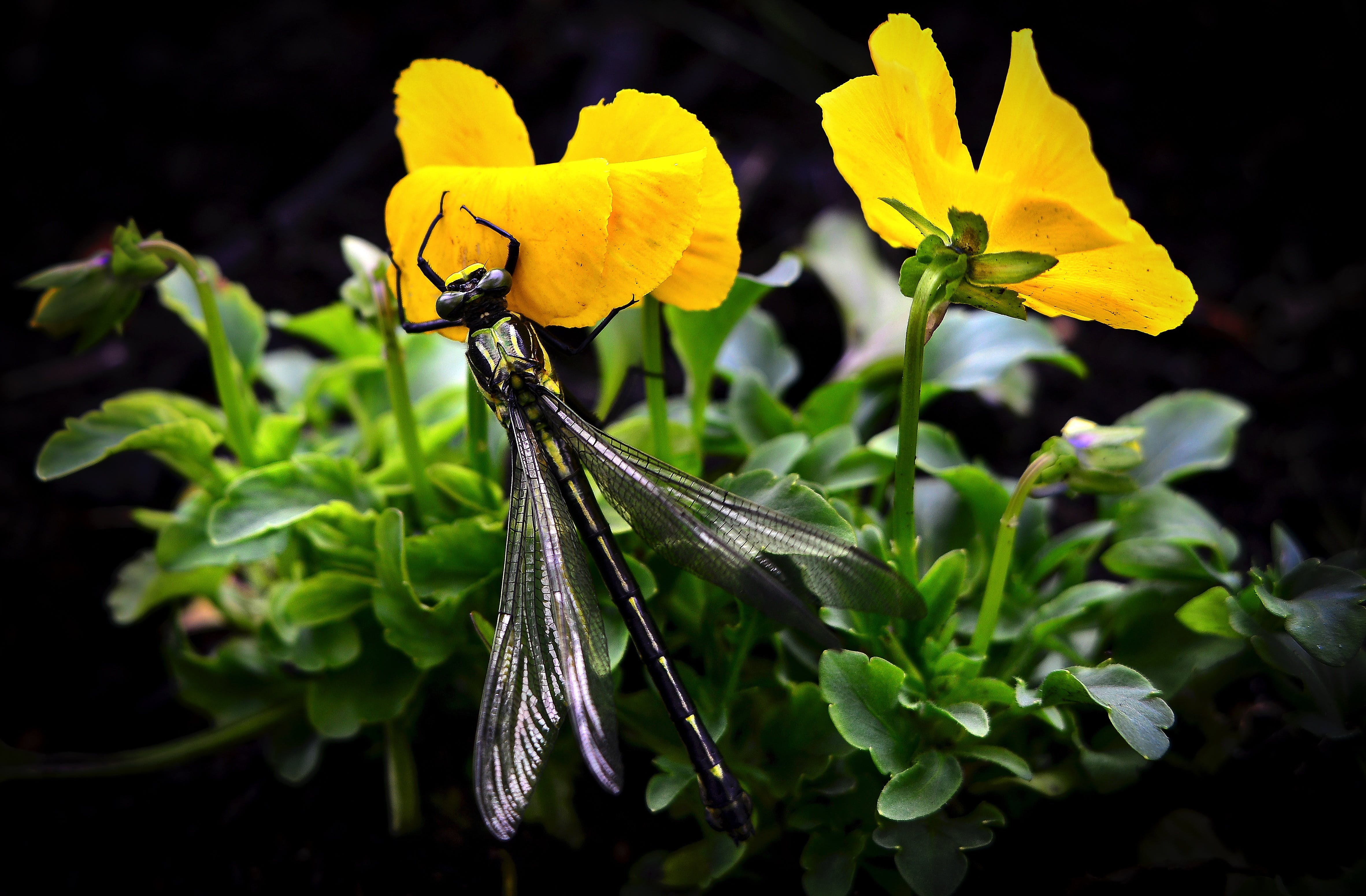 Dragonfly on Yellow Flowers