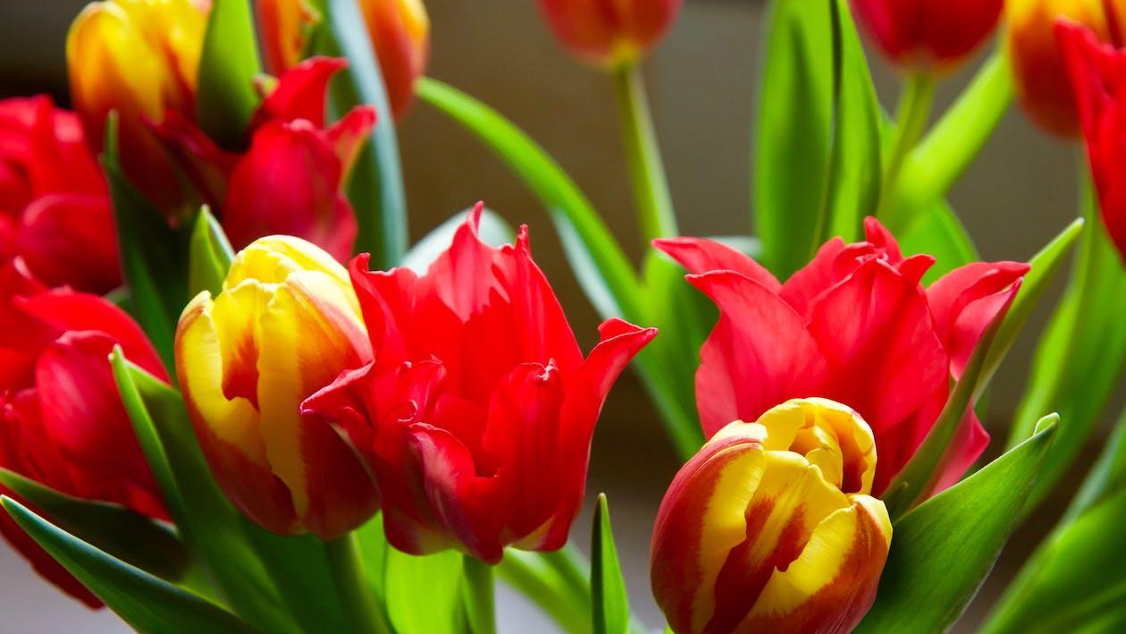 červená, jarní květiny, květiny