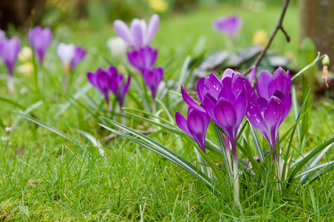 fialová, hloubka ostrosti, jarní květiny