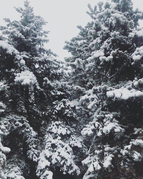 Бесплатное стоковое фото с зима, зимний лес, канада, контраст