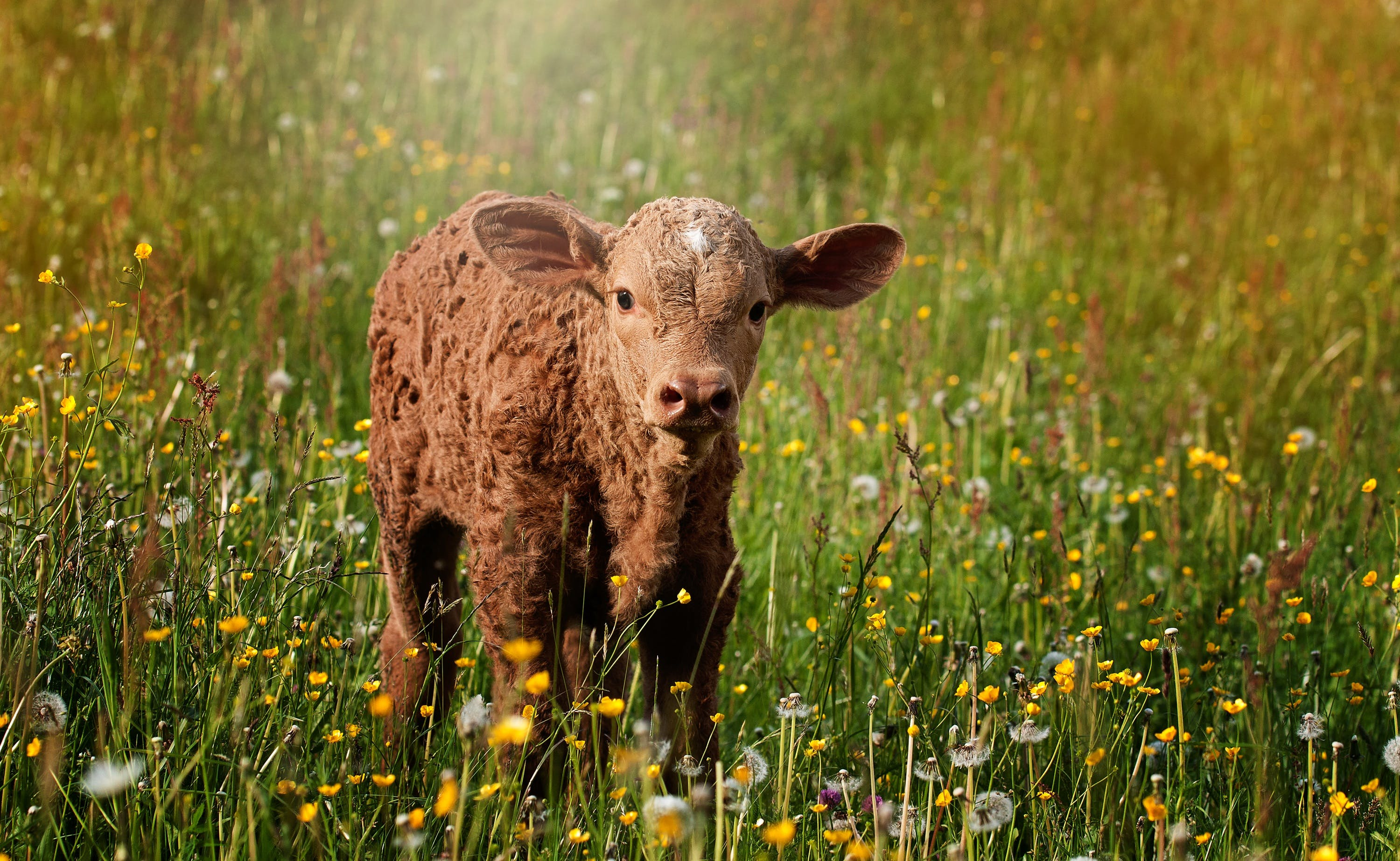 Brown Sheep on Grass Field