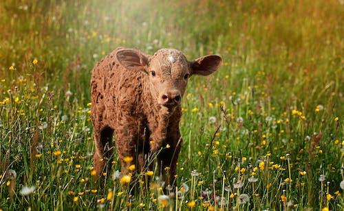 Ảnh lưu trữ miễn phí về bắp chân, chăn nuôi, con vật, đồng cỏ