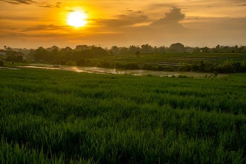 Free stock photo of bali, field, rice field, sunset