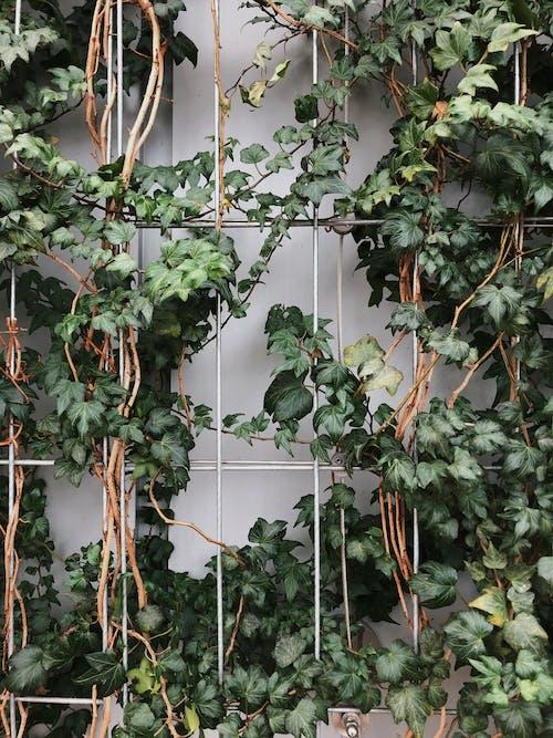Imagine de stoc gratuită din agățat de plante, agățat plante, centrale, creștere