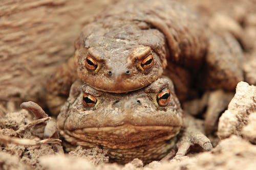Two Brown Frogs