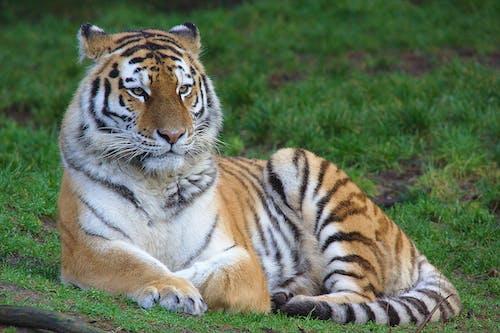 Ảnh lưu trữ miễn phí về hổ sumatran
