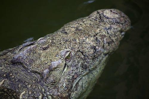 Ảnh lưu trữ miễn phí về Cá sấu