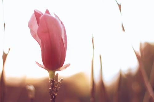 Free stock photo of beautiful flower, magnolia